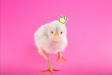 freetoedit cute fluffy chicken crown