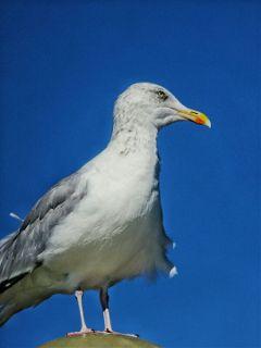 freetoedit photography seagull sky bluesky