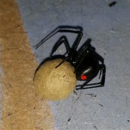 blackwidowspider eggsack freetoedit