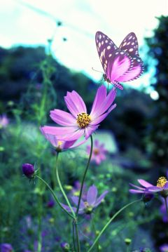 photography cosmos autumnvibes crossprocesseffect freetoedit