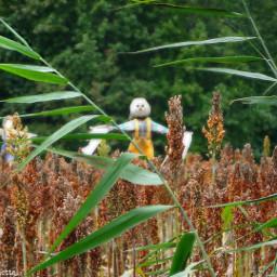 dpcfallfeels scarecrows sorgum field freetoedit