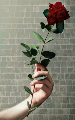 freetoedit hand roses stem gesture