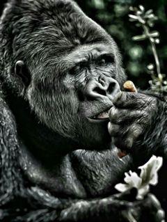 beauty human monkey gorilla nature