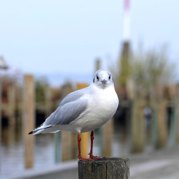 freetoedit seagull nature photography noedit