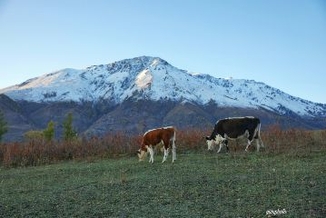 nature snowscape cows autumn photography