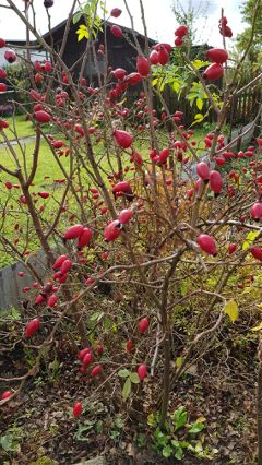 walk backyard rosehip bush redberries