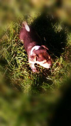 puppydog dogsofpicsart tiltshift warmcoloreffect myoriginalphoto freetoedit