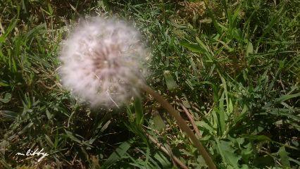 autumn dandelion dientedeleón deseos deseosdeotoño
