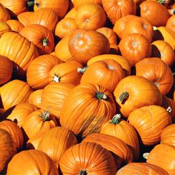 pumpkinpatch canadianthanksgiving turkeyday orange fall freetoedit