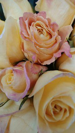 roses noedit