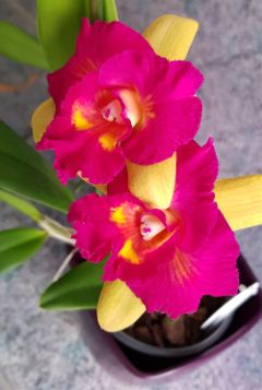 orchid cattleya pinkandyellow flower blossoms