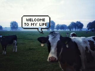 freetoedit farmlife farm cows