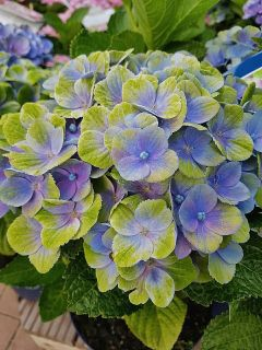 freetoedit photography flowers hydrangea blue