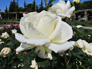 photography white rose flower garden freetoedit