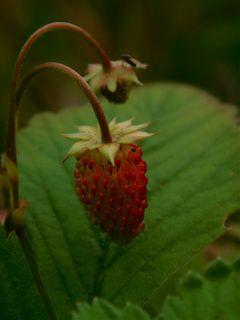 autumn strawberry closeup photography