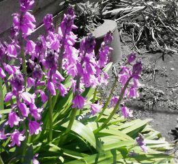 freetoedit flowers purple spring