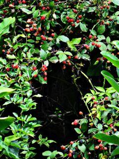 nature wildblackberries wildraspberries blackberries raspberries