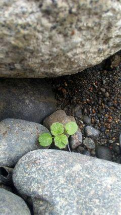 tiny green plant rocks oregonlife freetoedit