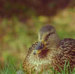 freetoedit duck closetonature nature photography