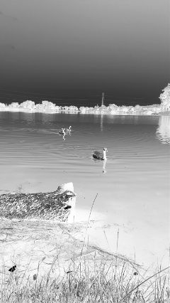 negativeeffect pond geese park