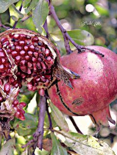 melograno nature fruits closeup