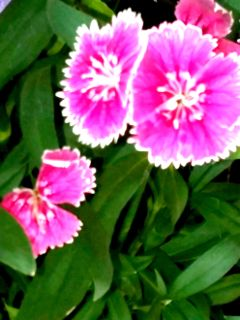 freetoedit flowers photography nature pink