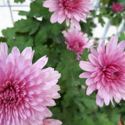 freetoedit flowers pinkflower pink naturephotography naturephotography naturelover follow followme