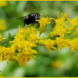 nature photography fly yellowflower myclick the
