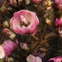 rosespink november2017 flowers photography nature
