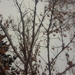 freetoedit snow snowy snowday trees