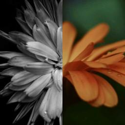 flowers blossom blackandwhite orange nature