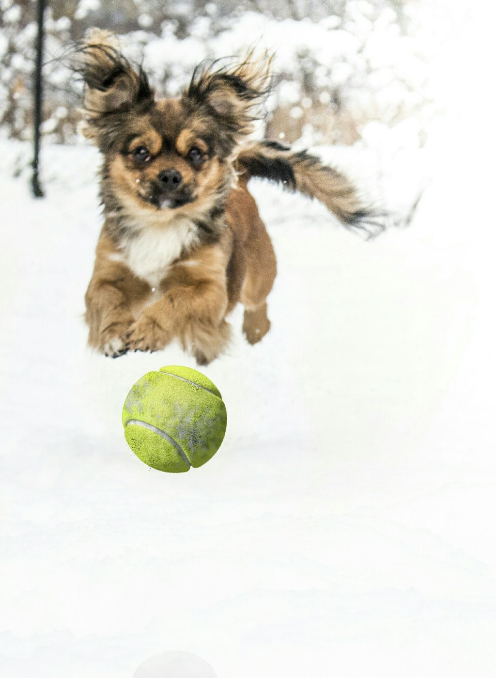 And here's my dog fooling around 🐶 #dog #jump #ball #tennisball #snow #cold #white #pet #animal #nature #cute