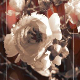 artisticportrait rosespink frostydays december2017 artisticeffect
