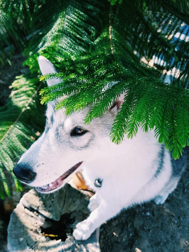 He's name Harper , my dog so cute #merrychristmas2017