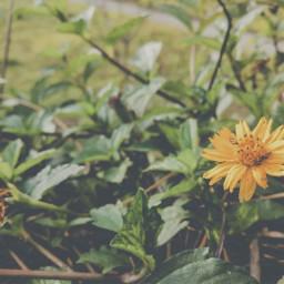 flower nature yellow sun bug freetoedit