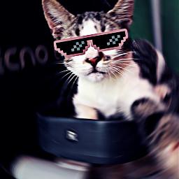 freetoedit petsandanimals mypet cat moli