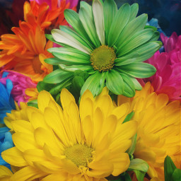 colorful daisies brightcolor flowers beautyinnature pcflowers