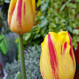 freetoedit photography flower tulip yellow