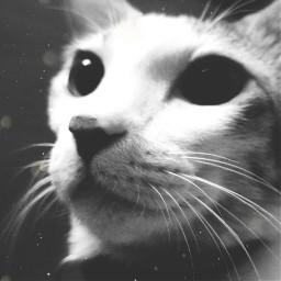 freetoedit cat blackandwhite animals kitten