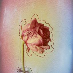 freetoedit flores rose flor flower