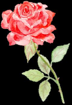 rose flower ftestickers freetoedit