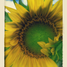 sunflowers🌻💛🌻 photography pchappiness happiness sunflowers