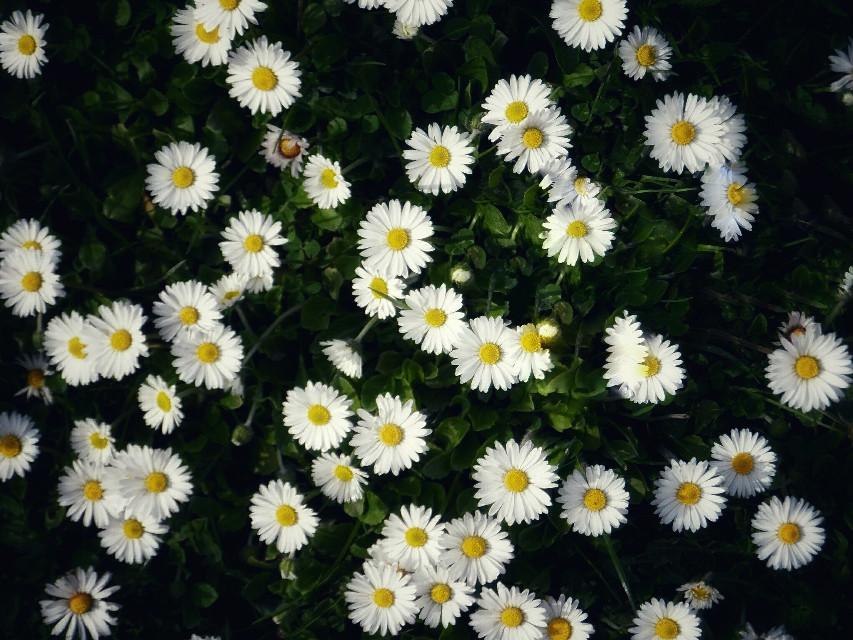 #flowers #flowerbackgrounds #daisies #springflowers  #freetoedit