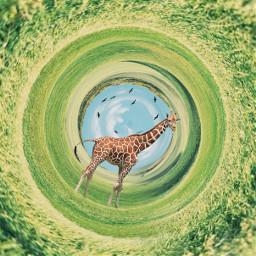freetoedit surreal surrealism surreality picsart picsarteffects picsartedit madewithpicsart remixed remixit remix giraffe safari birds lightroom