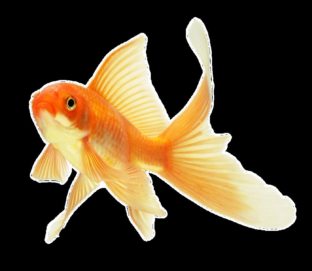 Картинки золотая рыбка на прозрачном фоне, днем рождения старший