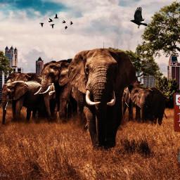 freetoedit ircelephants elephants cityscape grasslands