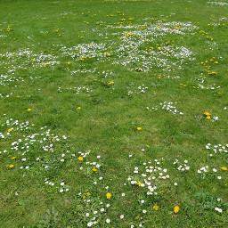 freetoedit grass field grassy flowers