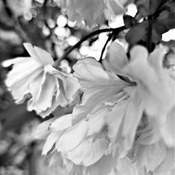 photography tree flowers blackandwhite