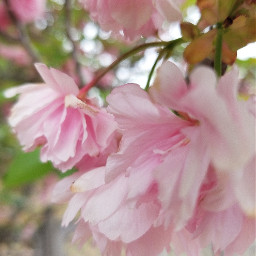 photography pink flowers tree nature