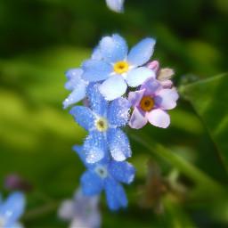 niezapominajki forgetmenot polishphotography nature naturephotography